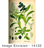 #14132 Picture of Wild Privet, Common Privet, European Privet (Ligustrum vulgare) by JVPD
