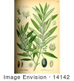 #14142 Picture Of Olive (Olea Europaea)