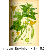 #14152 Picture Of Cucumber (Cucumis Sativus)