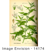 #14174 Picture of Gypsywort, Gipsywort, Bugleweed, European Bugleweed, Water Horehound, Ou Di Sun (Lycopus europaeus) by JVPD