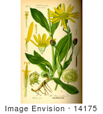 #14175 Picture Of Leopard'S Bane Wolf'S Bane Mountain Tobacco Mountain Arnica (Arnica Montana)