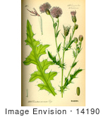 #14190 Picture Of Creeping Thistle (Cirsium Arvense)