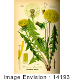 #14193 Picture Of Common Dandelion (Taraxacum Officinale)