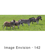#142 Stock Photograph of Zebras in a Field by Jamie Voetsch