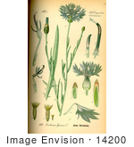 #14200 Picture Of Cornflower Bachelor'S Button Basket Flower Boutonniere Flower (Centaurea Cyanus)
