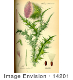 #14201 Picture Of Musk Thistle Nodding Thistle (Carduus Nutans)