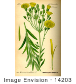 #14203 Picture Of Narrowleaf Hawkweed (Hieracium Umbellatum)