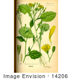 #14206 Picture Of Nipplewort (Lapsana Communis)