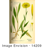#14209 Picture Of Yellow Oxeye Daisy (Buphthalmum Salicifolium)