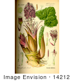 #14212 Picture of Common Butterbur, Bog Rhubarb, Devil's Hat, Pestilence Wort (Petasites hybridus) by JVPD