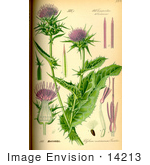 #14213 Picture of Blessed Milk Thistle (Silybum marianum) by JVPD