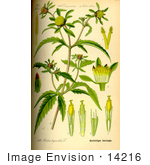 #14216 Picture Of Three Lobe Beggarticks (Bidens Tripartita)