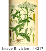 #14217 Picture of Yarrow, Common Yarrow, Gordaldo, Nosebleed plant, Old Man's Pepper, Sanguinary, Soldier's Woundwort, Thousand-leaf, Thousand-seal (Achillea millefolium) by JVPD