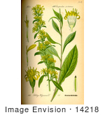 #14218 Picture Of Goldenrod Woundwort (Solidago Virgaurea)