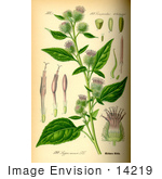 #14219 Picture Of Arctium Minor