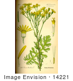 #14221 Picture Of Ragwort (Senecio Jacobaea)