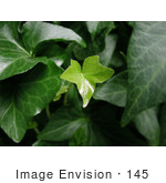 #145 Photograph Of Green Ivy With New Growth