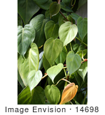 #14698 Picture of a Heartleaf Philodendron (philodendron cordatum) Plant by Jamie Voetsch