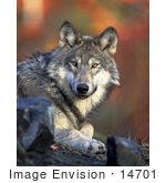 #14701 Picture Of A Gray Wolf Timber Wolf (Canis Lupus)