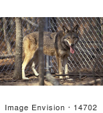 #14702 Picture Of A Captive Red Wolf (Canis Rufus)