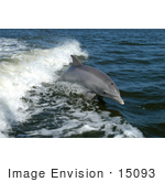 #15093 Picture Of A Bottlenose Dolphin (Tursiops Truncatus)