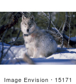#15171 Picture Of A Gray Wolf With A Tracking Collar