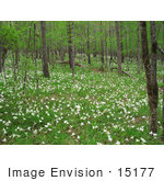 #15177 Picture Of White Wildflowers Along The Flint River In Georgia