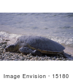 #15180 Picture Of A Green Sea Turtle (Chelonia Mydas) On Shore