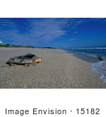 #15182 Picture Of A Loggerhead Sea Turtle (Caretta Caretta) On A Beach