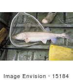 #15184 Picture Of A Colorado Pikeminnow In A Net