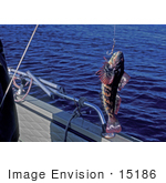 #15186 Picture Of A Hooked Grayling Fish