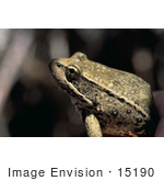 #15190 Picture Of A Northern Red-Legged Frog (Rana Aurora Aurora)