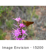 #15200 Picture Of A Pawnee Montane Skipper Butterfly On Pink Flowers