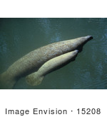 #15208 Picture Of A West Indian Manatee Cow With Calf (Trichechus Manatus)