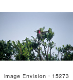 #15273 Picture Of Anna'S Hummingbird (Calypte Anna)