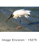 #15275 Picture Of A Wood Stork (Mycteria Americana) On Shore