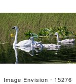 #15276 Picture Of A Trumpeter Swan Brood (Cygnus Buccinator)