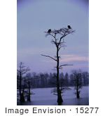 #15277 Picture Of Two Bald Eagles (Haliaeetus Leucocephalus) On A Tree Top