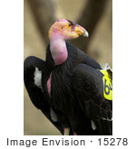 #15278 Picture Of A California Condor (Gymnogyps Californianus)