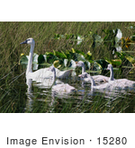 #15280 Picture Of A Trumpeter Swan Brood (Cygnus Buccinator)