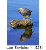 #15281 Picture Of A Gadwall Drake (Anas Strepera)