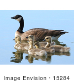 #15284 Picture Of A Canada Goose Brood (Branta Canadensis)