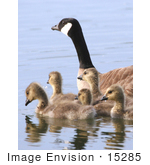 #15285 Picture Of A Canada Goose Brood (Branta Canadensis) Alaska
