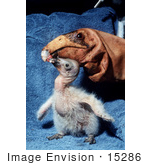 #15286 Picture Of A California Condor (Gymnogyps Californianus) Chick With Puppet Parent