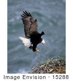 #15288 Picture Of A Bald Eagle In Flight About To Land