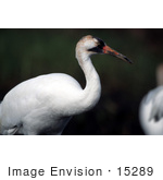 #15289 Picture Of A Whooping Crane (Grus Americana)