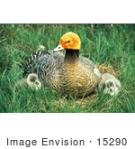 #15290 Picture Of An Emperor Goose (Chen Canagica) And Chicks