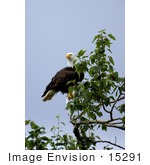 #15291 Picture Of An American Bald Eagle (Haliaeetus Leucocephalus)