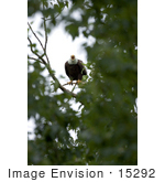 #15292 Picture Of A Squacking Bald Eagle (Haliaeetus Leucocephalus)