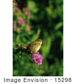 #15298 Picture Of A Swamp Sparrow (Melospiza Georgiana)